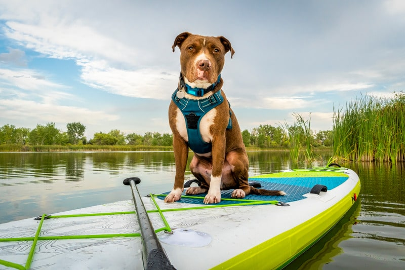 chien pittbull sur paddle